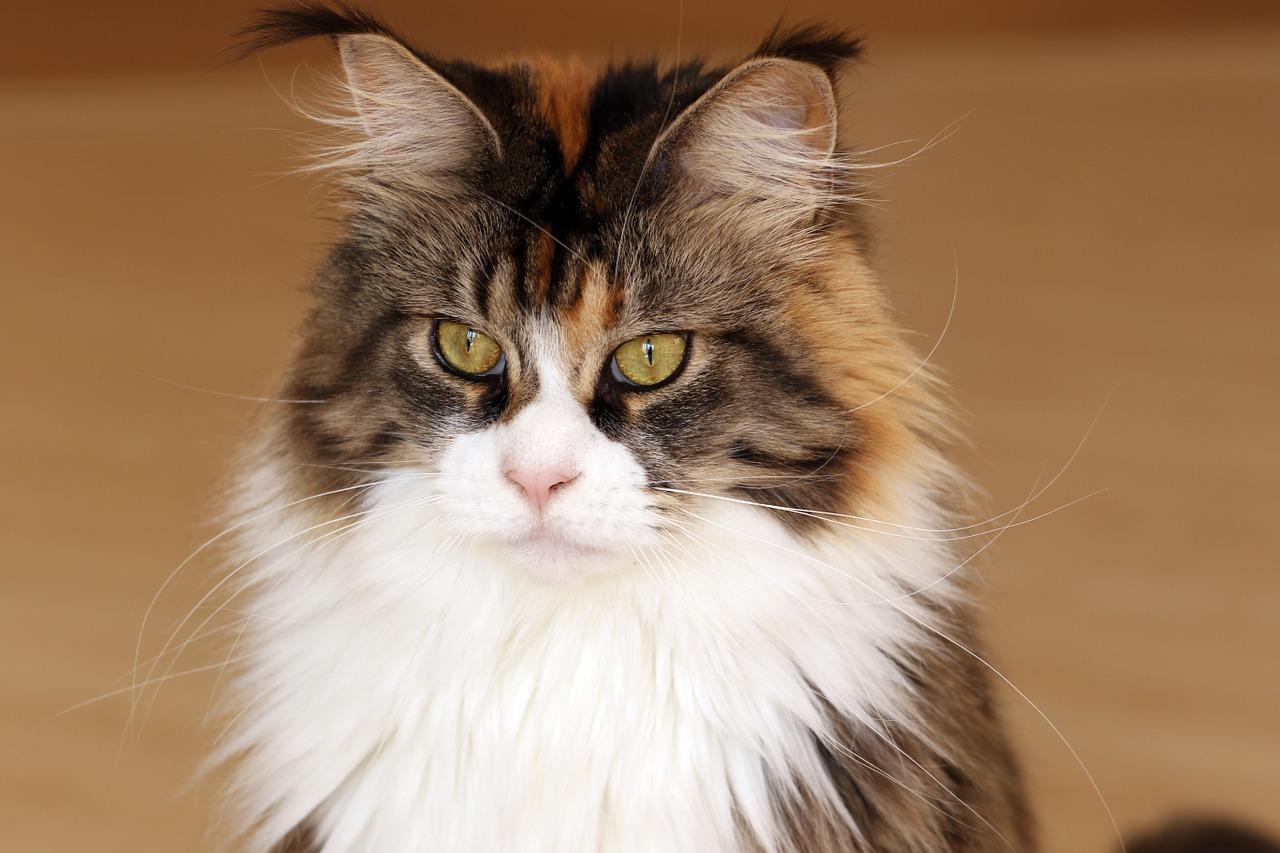 Co warto wiedzieć o kotach Maine Coon?