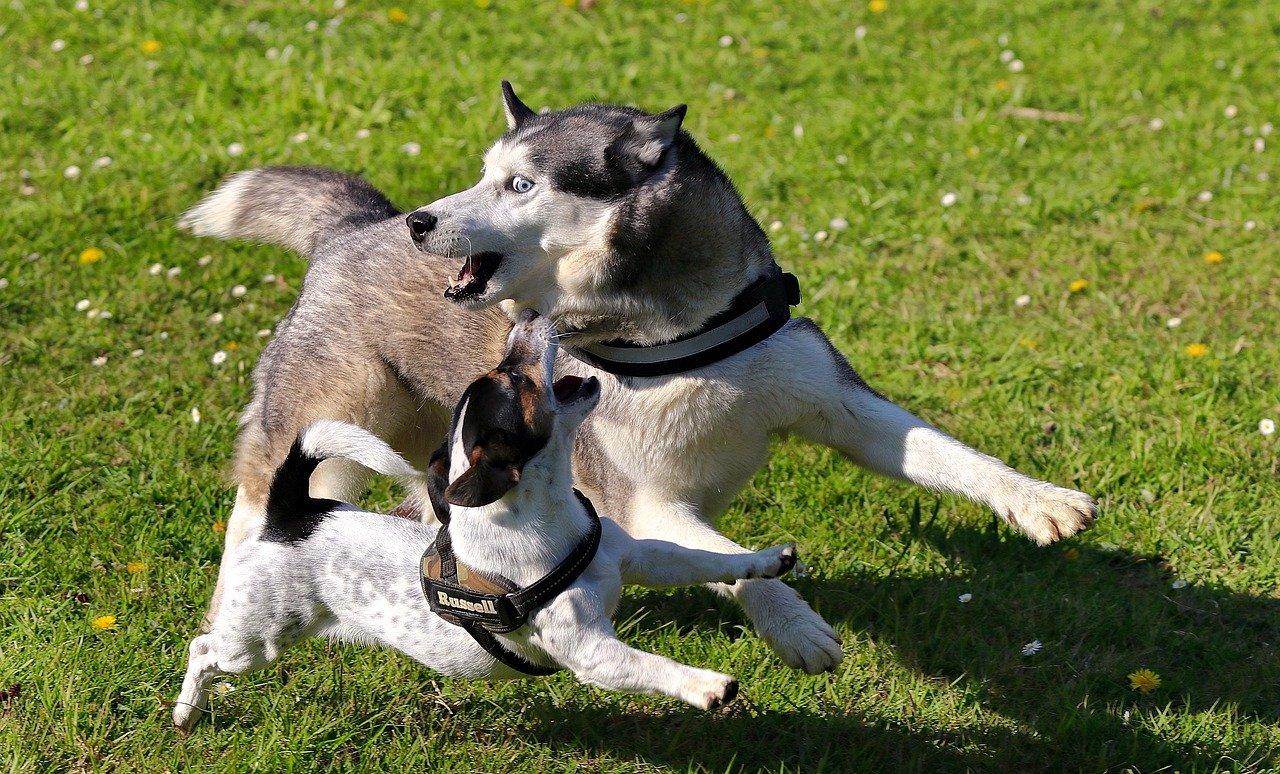 Miniatura psa Husky – czy da się ją spotkać?