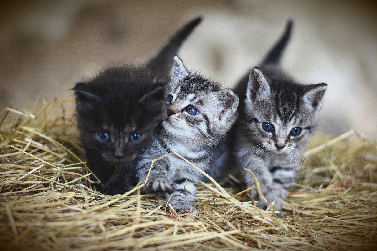 Jak sprawdzić czy Twój kot jest w ciąży?