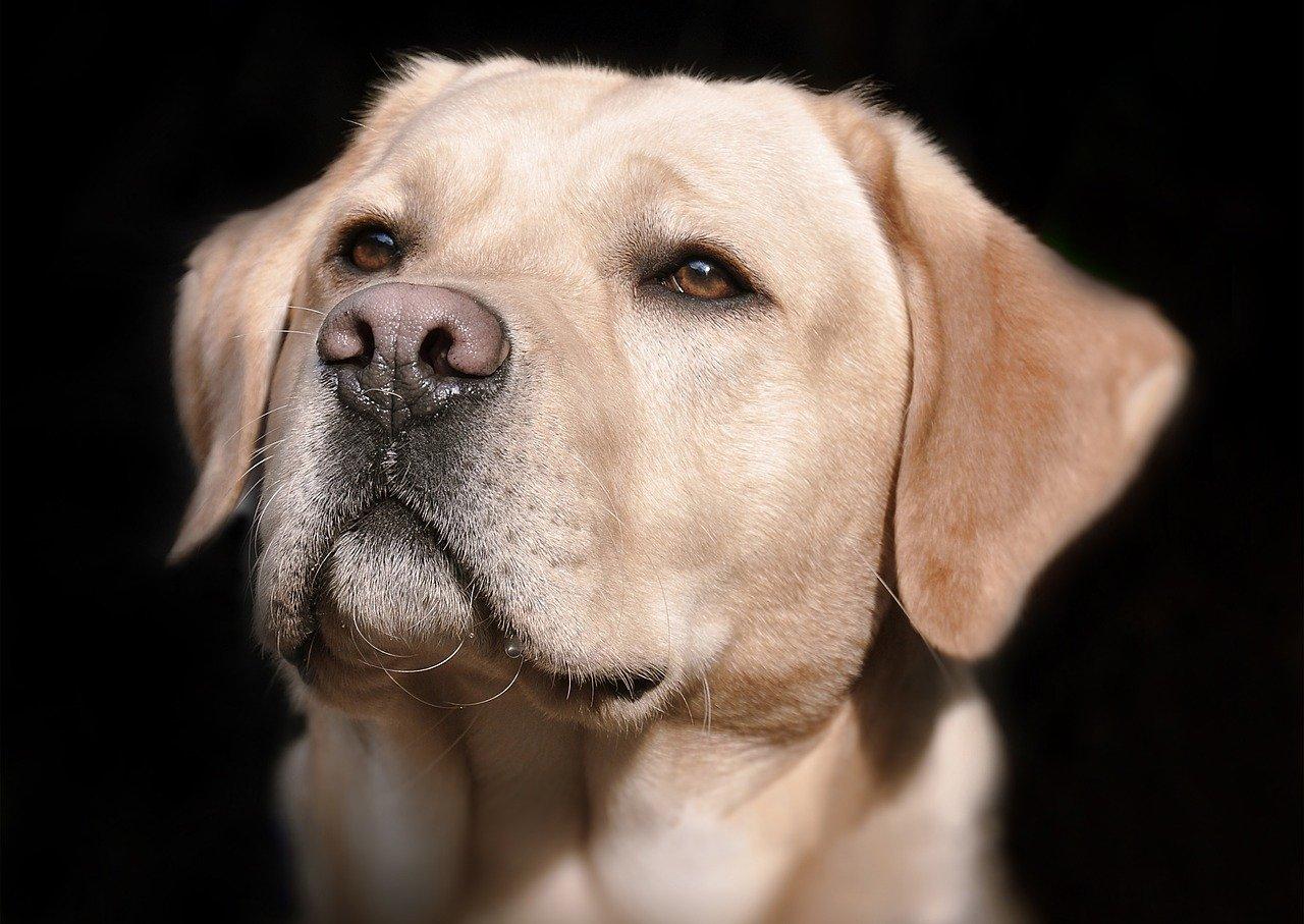 Jaka karma będzie najlepsza dla dorosłego labradora?