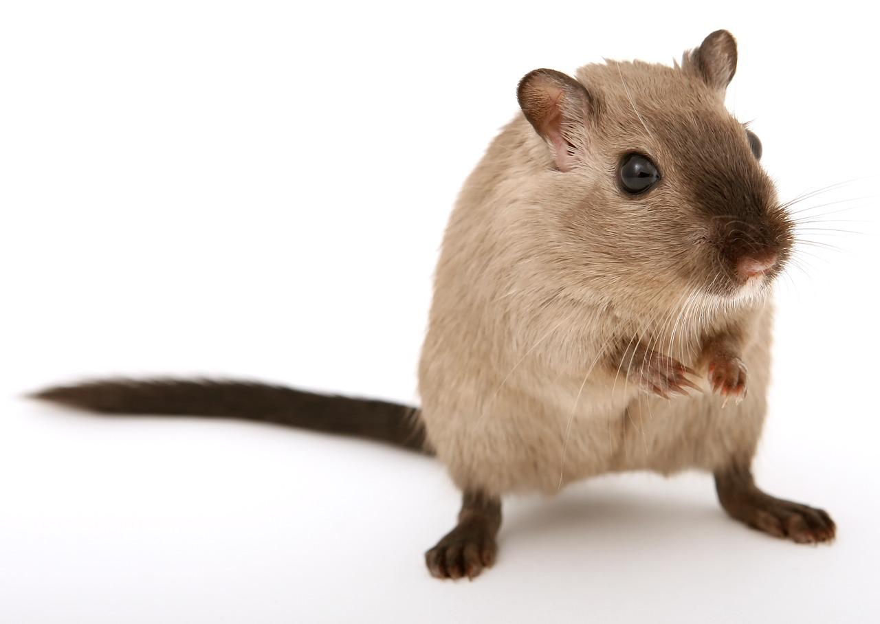 Odmiany szczurów, jak się nazywają i czym się różnią?