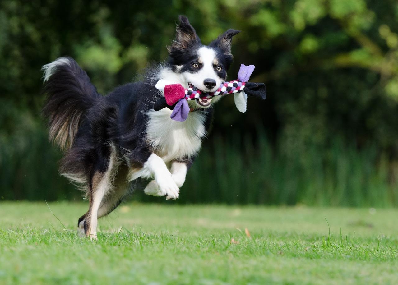 Ranking psów według inteligencji