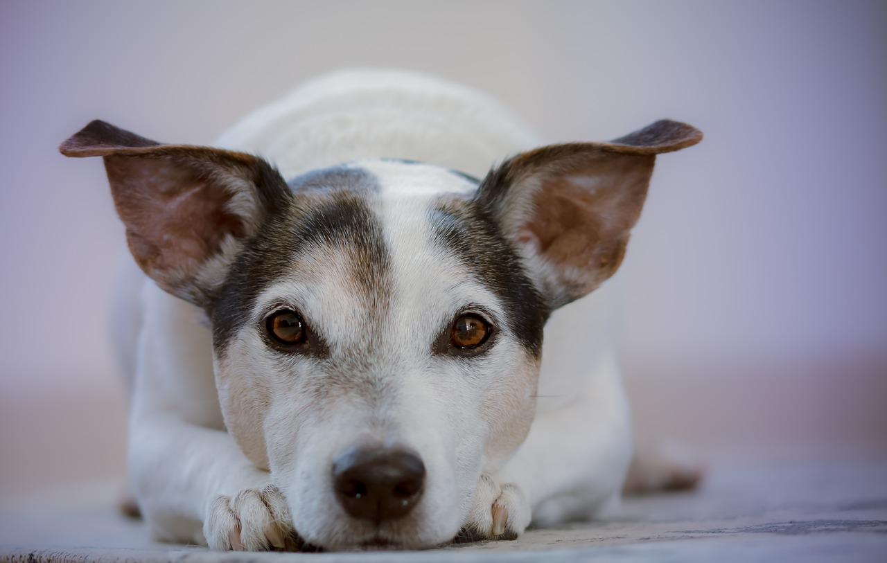 Gorączka u psa – co robić?
